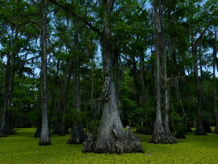 Caddo Lake Swamp TX, 2013